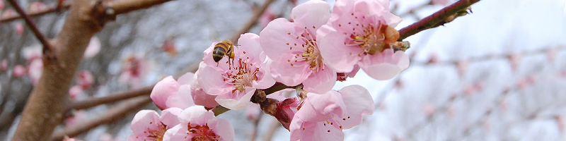 slider 1024px-Peach_blossoms_and_a_bee
